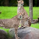 Oregon Zoo- Cheetahs