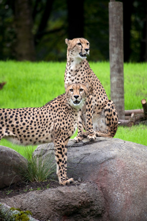 Oregon Zoo- Cheetahs